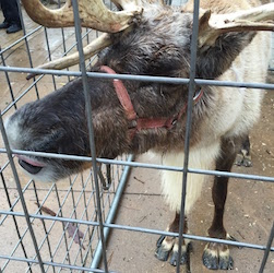 Live Reindeer image